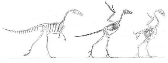 Compsognathus, Archaeopteryx, Gallus