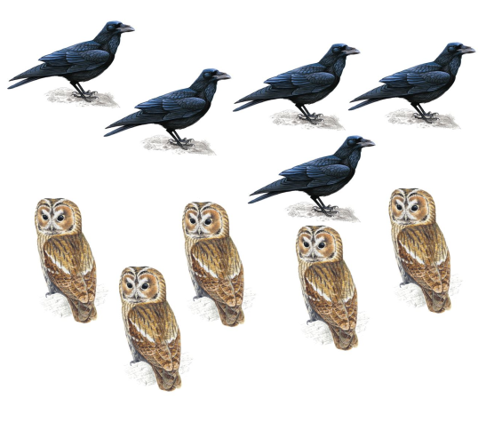 Ravens_and_Owls
